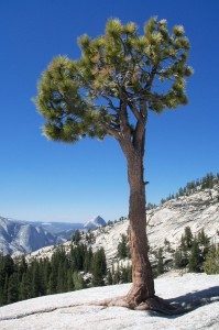 Jeffrey pine at Olmstead Point