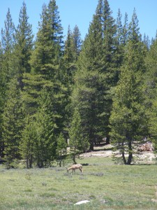 Deer at Tuolumne Meadow.