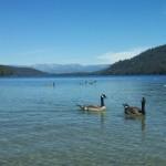Geese at Donner Lake.