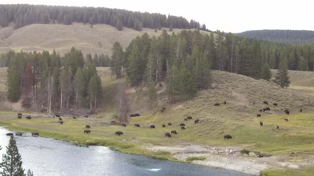 bison crossing the yellowstone