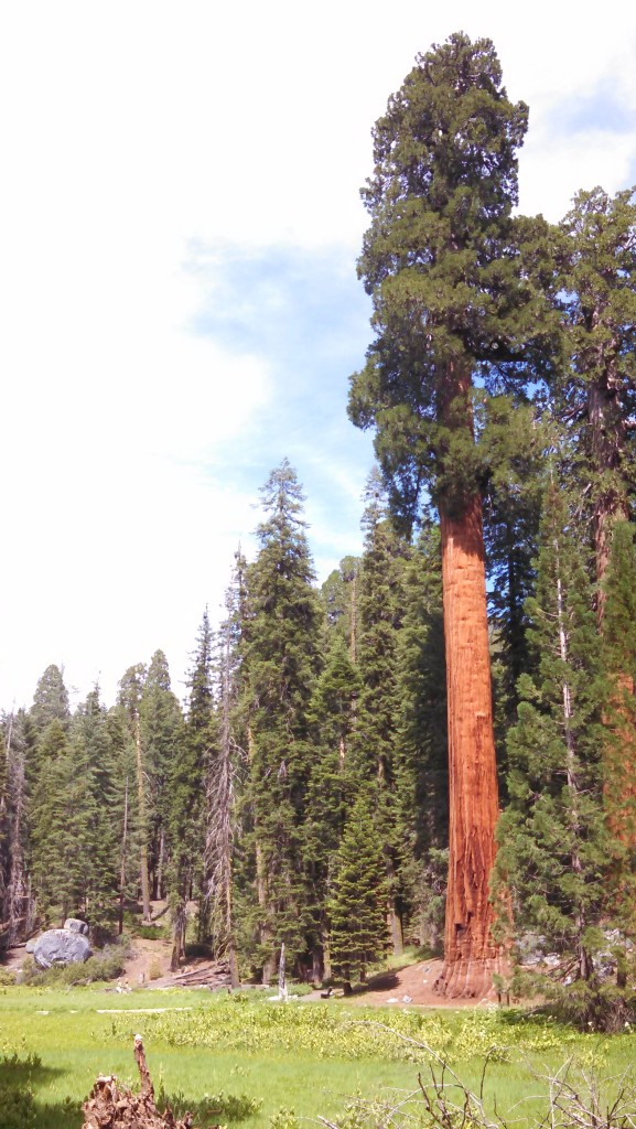 Giant Sequoias at Round Meadow