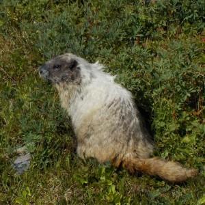 mt rainier marmot